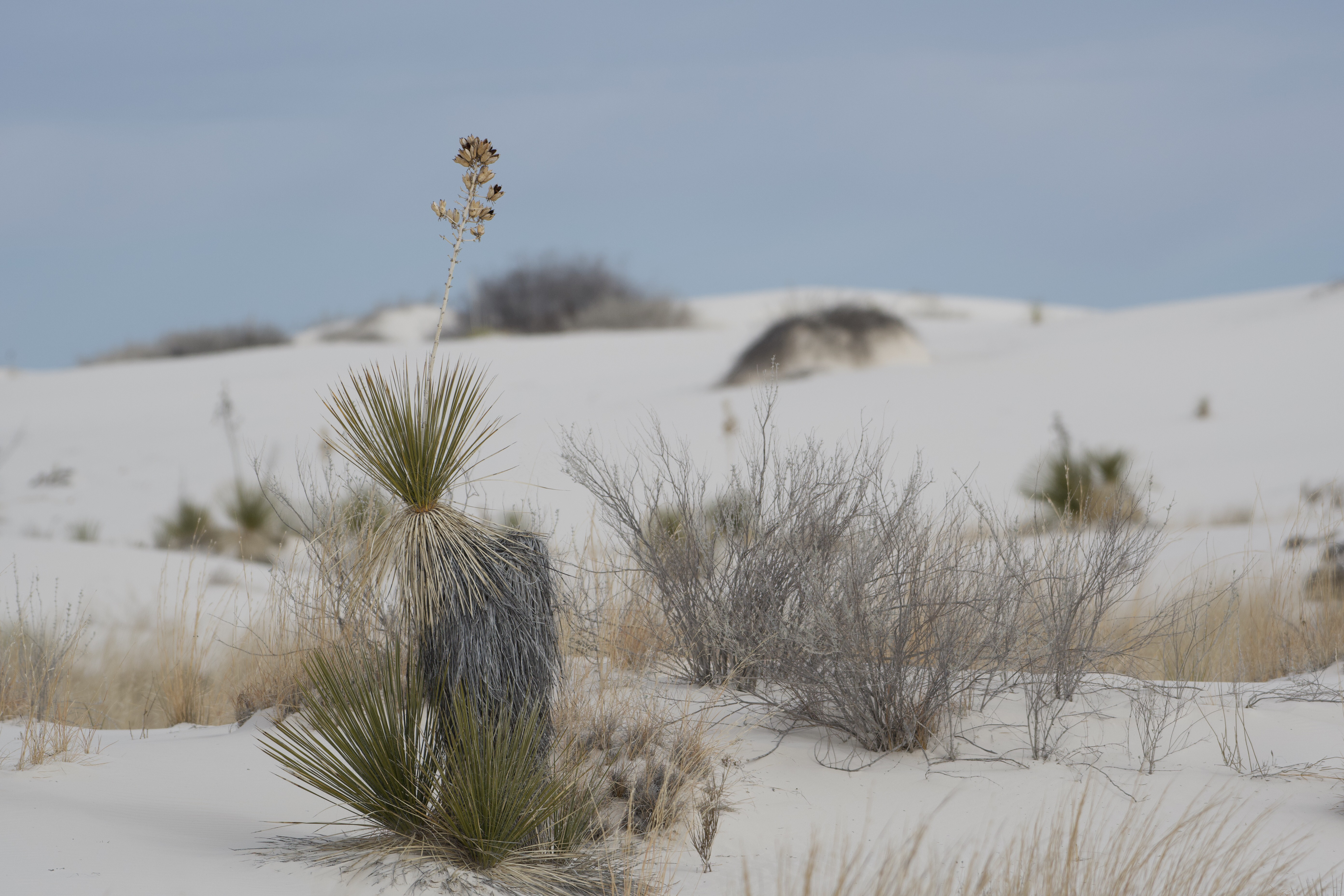 A scene of the vegetation and dunes at White Sands National Prk